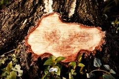 Κινηματογράφηση σε πρώτο πλάνο σε ένα κολόβωμα ενός δέντρου καταρριφθε'ντος Κολόβωμα μετά από την αφαίρεση του φράγματος Στοκ Εικόνα