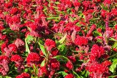 Κινηματογράφηση σε πρώτο πλάνο σε Cockscomb, κινεζικό λουλούδι μαλλιού, Celosia Argentea Στοκ Φωτογραφία
