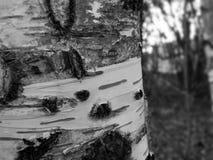 Κινηματογράφηση σε πρώτο πλάνο σημύδων Στοκ φωτογραφία με δικαίωμα ελεύθερης χρήσης