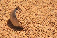 Κινηματογράφηση σε πρώτο πλάνο σιταριού ρυζιού. Στοκ Εικόνες
