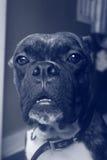 Κινηματογράφηση σε πρώτο πλάνο σκυλιών μπόξερ Στοκ εικόνα με δικαίωμα ελεύθερης χρήσης
