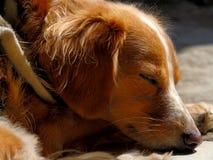 Κινηματογράφηση σε πρώτο πλάνο σκυλιών Στοκ Εικόνα