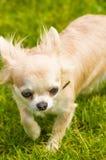 Κινηματογράφηση σε πρώτο πλάνο σκυλιών Chihuahua Στοκ Φωτογραφία