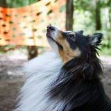 Κινηματογράφηση σε πρώτο πλάνο σκυλιών Sheltie Στοκ φωτογραφία με δικαίωμα ελεύθερης χρήσης