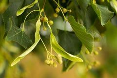 Κινηματογράφηση σε πρώτο πλάνο σπόρων δέντρων Linden στο πράσινο υπόβαθρο φύλλων Στοκ Εικόνα