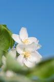 Κινηματογράφηση σε πρώτο πλάνο στα άνθη μήλων, διάστημα κειμένων Στοκ φωτογραφία με δικαίωμα ελεύθερης χρήσης