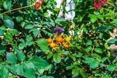Κινηματογράφηση σε πρώτο πλάνο στην ομάδα μαραμένων ντοματών, Esculentum μύλος Lycopersicon Στοκ εικόνες με δικαίωμα ελεύθερης χρήσης