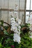 Κινηματογράφηση σε πρώτο πλάνο στην ομάδα όμορφης τροπικής άσπρης ορχιδέας Phalaenopsis Aphrodite Στοκ Εικόνα