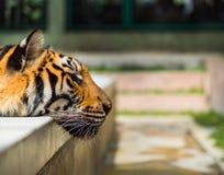 Κινηματογράφηση σε πρώτο πλάνο στη στηργμένος τίγρη Στοκ εικόνες με δικαίωμα ελεύθερης χρήσης
