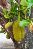 Κινηματογράφηση σε πρώτο πλάνο στη φρέσκια ένωση Jackfruit στο δέντρο Στοκ φωτογραφία με δικαίωμα ελεύθερης χρήσης