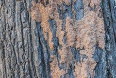 Κινηματογράφηση σε πρώτο πλάνο στη φωλιά τερμιτών στο φλοιό του δέντρου Στοκ Εικόνες