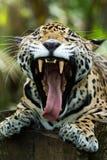 Κινηματογράφηση σε πρώτο πλάνο στοματικών ανοικτή παρουσιάζοντας δοντιών ιαγουάρων στη ζούγκλα Στοκ Εικόνα