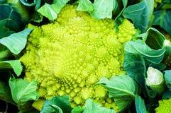 Κινηματογράφηση σε πρώτο πλάνο στο λάχανο μπρόκολου Romanesco ή το πράσινο κουνουπίδι Στοκ εικόνα με δικαίωμα ελεύθερης χρήσης