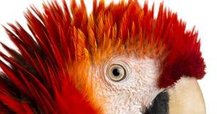 Κινηματογράφηση σε πρώτο πλάνο στο μάτι ενός ερυθρού Macaw (4 χρονών) που απομονώνεται στο μόριο Στοκ φωτογραφία με δικαίωμα ελεύθερης χρήσης