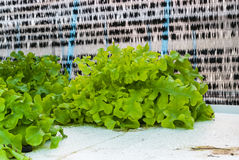 Κινηματογράφηση σε πρώτο πλάνο στο οργανικό φρέσκο πράσινο μαρούλι φυτικό Lactuca Sativa από Hydroponics το αγρόκτημα Στοκ εικόνα με δικαίωμα ελεύθερης χρήσης
