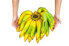 Κινηματογράφηση σε πρώτο πλάνο στο χέρι της μπανάνας Cavendish στο μεγάλο μέγεθος, που απομονώνεται Στοκ Φωτογραφία