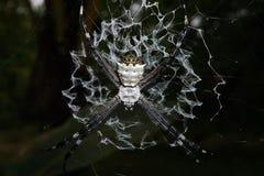 Κινηματογράφηση σε πρώτο πλάνο της ασημένιας αράχνης argiope στον Ιστό του Στοκ Εικόνες