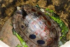 Κινηματογράφηση σε πρώτο πλάνο της ασιατικής χελώνας στη φουσκάλα Στοκ Εικόνα