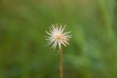 Κινηματογράφηση σε πρώτο πλάνο της ενιαίας άνθισης λουλουδιών χλόης Στοκ Εικόνες