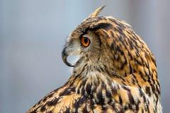 Κινηματογράφηση σε πρώτο πλάνο της ευρασιατικής αετός-κουκουβάγιας Στοκ φωτογραφίες με δικαίωμα ελεύθερης χρήσης