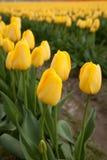 Κινηματογράφηση σε πρώτο πλάνο της κίτρινης άνθισης τουλιπών Στοκ φωτογραφία με δικαίωμα ελεύθερης χρήσης