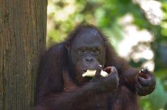 Κινηματογράφηση σε πρώτο πλάνο της κατανάλωσης Orangutang Στοκ εικόνα με δικαίωμα ελεύθερης χρήσης