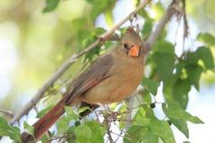 Κινηματογράφηση σε πρώτο πλάνο της καφετιάς θηλυκής βασικής συνεδρίασης πουλιών στο δέντρο που εξετάζει τη κάμερα Στοκ Φωτογραφία