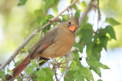 Κινηματογράφηση σε πρώτο πλάνο της καφετιάς θηλυκής βασικής συνεδρίασης πουλιών στο δέντρο που εξετάζει τη κάμερα Στοκ φωτογραφία με δικαίωμα ελεύθερης χρήσης
