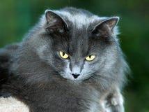 Κινηματογράφηση σε πρώτο πλάνο της μακρυμάλλους γκρίζας γάτας Στοκ φωτογραφίες με δικαίωμα ελεύθερης χρήσης