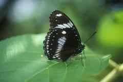 Κινηματογράφηση σε πρώτο πλάνο της μαύρης πεταλούδας, κολπίσκος καρύδων, ΛΦ Στοκ εικόνα με δικαίωμα ελεύθερης χρήσης
