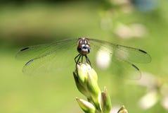 Κινηματογράφηση σε πρώτο πλάνο της μύγας δράκων Στοκ Φωτογραφίες