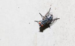 Κινηματογράφηση σε πρώτο πλάνο της μύγας στο άσπρο πάτωμα Στοκ Φωτογραφίες
