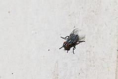Κινηματογράφηση σε πρώτο πλάνο της μύγας στο άσπρο πάτωμα Στοκ Εικόνες