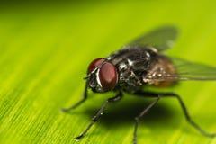 Κινηματογράφηση σε πρώτο πλάνο της μύγας στο φύλλο μπανανών Στοκ Φωτογραφία