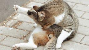 Κινηματογράφηση σε πρώτο πλάνο της περιπλανώμενης γάτας που γλείφει τις σφαίρες του στην οδό απόθεμα βίντεο