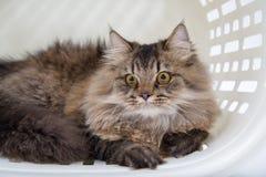 Περσική γάτα στο καλάθι Στοκ φωτογραφία με δικαίωμα ελεύθερης χρήσης