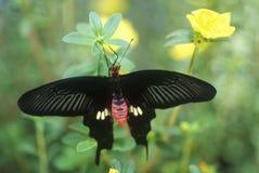 Κινηματογράφηση σε πρώτο πλάνο της πεταλούδας, κολπίσκος καρύδων, ΛΦ Στοκ Εικόνα