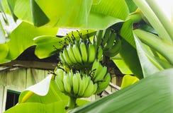 Κινηματογράφηση σε πρώτο πλάνο της πράσινης μπανάνας στο δέντρο μπανανών Στοκ εικόνες με δικαίωμα ελεύθερης χρήσης