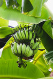 Κινηματογράφηση σε πρώτο πλάνο της πράσινης μπανάνας στο δέντρο μπανανών Στοκ Εικόνες