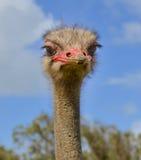Κινηματογράφηση σε πρώτο πλάνο της στρουθοκαμήλου που κοιτάζει επίμονα σε σας Στοκ Φωτογραφίες