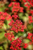 Κινηματογράφηση σε πρώτο πλάνο της συστάδας των κόκκινων λουλουδιών (κόκκινο Kalanchoe) Στοκ Φωτογραφία