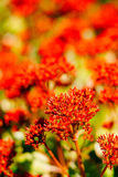 Κινηματογράφηση σε πρώτο πλάνο της συστάδας των κόκκινων λουλουδιών (κόκκινο Kalanchoe) Στοκ φωτογραφία με δικαίωμα ελεύθερης χρήσης