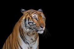 Κινηματογράφηση σε πρώτο πλάνο της τίγρης Στοκ Φωτογραφία