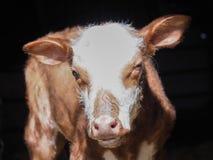 Κινηματογράφηση σε πρώτο πλάνο της χαριτωμένου αγελάδας ή του μόσχου μωρών Στοκ Εικόνα