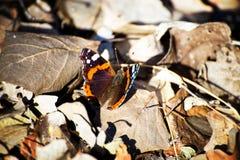 Κινηματογράφηση σε πρώτο πλάνο της όμορφης πεταλούδας με πολλά χρώματα Στοκ Εικόνα