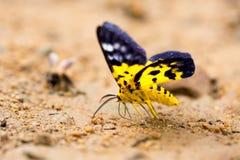 Κινηματογράφηση σε πρώτο πλάνο της όμορφης πεταλούδας που στηρίζεται στο έδαφος Στοκ Φωτογραφία