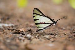 Κινηματογράφηση σε πρώτο πλάνο της όμορφης πεταλούδας που στηρίζεται στο έδαφος Στοκ Εικόνες