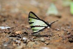 Κινηματογράφηση σε πρώτο πλάνο της όμορφης πεταλούδας που στηρίζεται στο έδαφος Στοκ φωτογραφία με δικαίωμα ελεύθερης χρήσης
