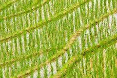 Κινηματογράφηση σε πρώτο πλάνο τομέων ρυζιού Στοκ Φωτογραφία