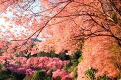 Κινηματογράφηση σε πρώτο πλάνο του άγριου κερασιού Himalayan (Prunus cerasoides) σε Khun Mae Στοκ φωτογραφία με δικαίωμα ελεύθερης χρήσης